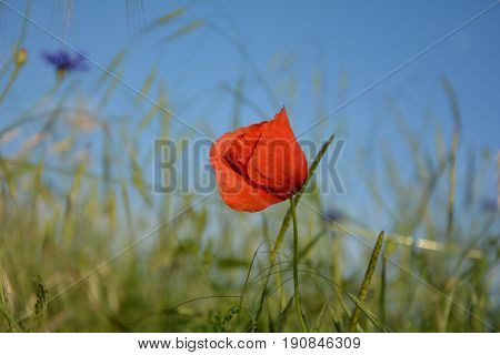 One red clap poppy  (  Papaver rhoeas  )  on the meadow