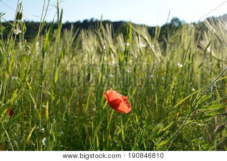 Clap poppy  (  Papaver rhoeas  )  on the meadow with blue sky