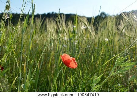 A clap poppy blossom   (  Papaver rhoeas  )  and a bud on the meadow  with blue sky