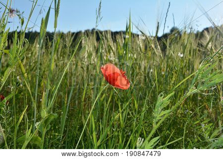 A clap poppy blossom   (  Papaver rhoeas  )  and a bud on the meadow