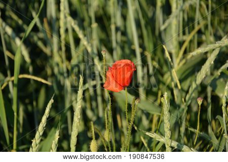 A clap poppy blossom   (  Papaver rhoeas  )  in the middle of a grain - field