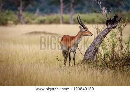 A Lechwe Standing In The Grass.