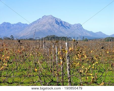 GRAPE FARM, STELLENBOSCH, WESTERN CAPE, SOUTH AFRICA 24klids