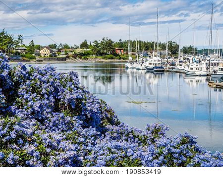 California Lilac blooming in front of marina with moored boats