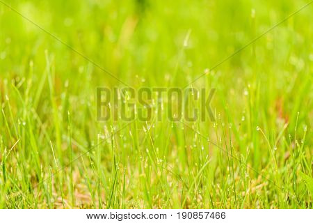 Green Grass With Frozen Dew On Its Tips On Blurred Background Of Another Herb