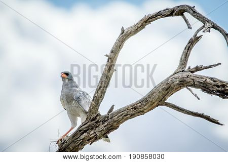 Pale Chanting Goshawk In A Dead Tree.