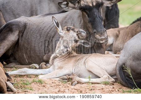 Blue Wildebeest Calf Laying Down.