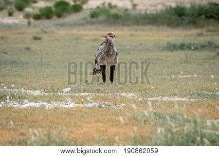 Secretary Bird On A Kill In The Kalagadi.