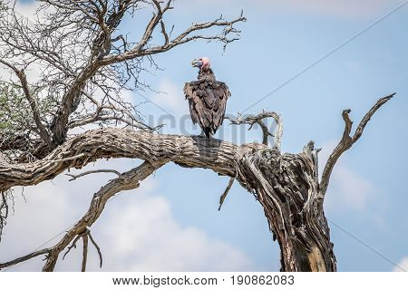 Lappet-faced Vulture On A Branch.
