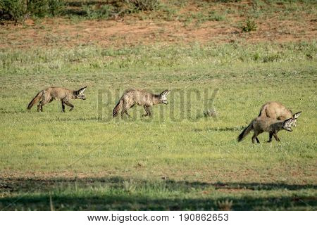 Family Of Bat-eared Foxes Walking In The Grass.