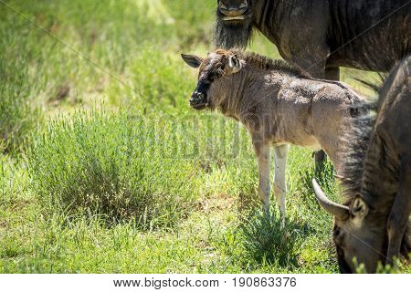 Young Blue Wildebeest Calf In Between The Herd.