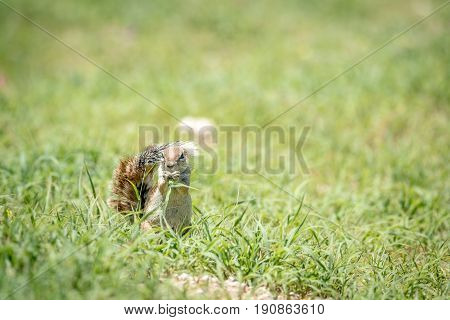 Ground Squirrel Eating Grass In Kalagadi.