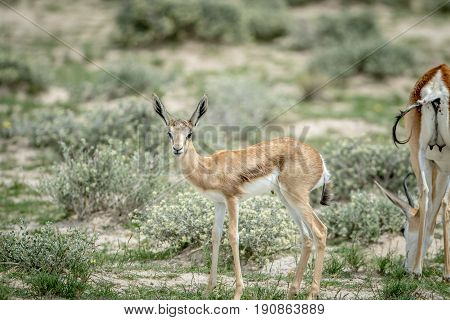 Young Springbok Starring At The Camera.