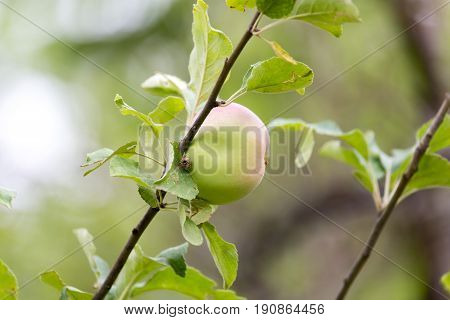apple on tree in nature . A photo