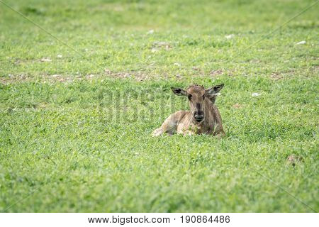 Blue Wildebeest Calf Laying In The Grass.