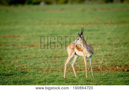 Side Profile Of A Springbok Standing In The Grass.