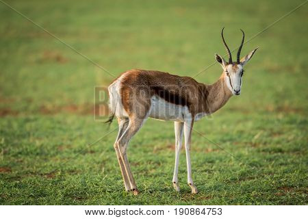 Springbok Standing In The Grass.