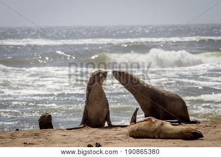 Group Of Cape Fur Seals On The Coast.