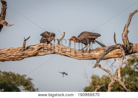 Two Southern Ground Hornbills On The Branch.