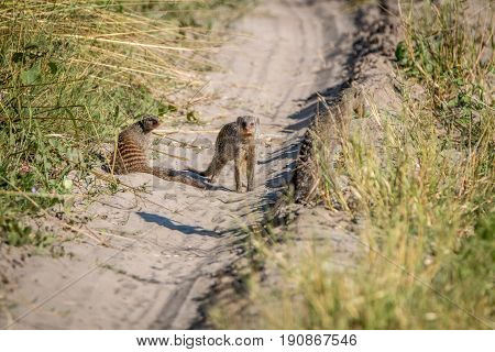 Two Banded Mongoose On The Road.