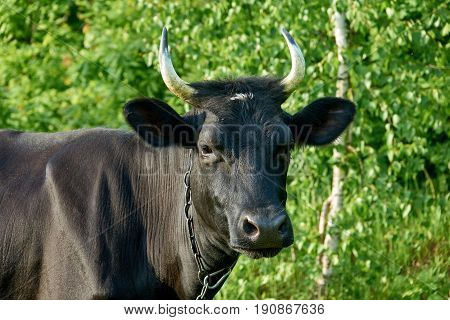 Black cow portrait on a green background. Cattle farm.