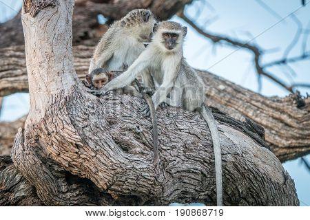 Two Vervet Monkeys Resting On A Tree.
