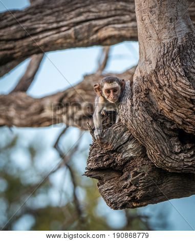 A Young Vervet Monkey Starring At The Camera.
