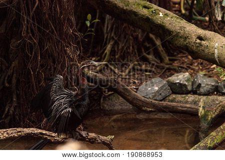 African Darter known as Anhinga rufa rufa spreads its wings near a shallow water stream.