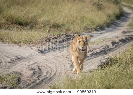 A Female Lion Walking On The Road.