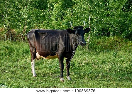 Sick thin black cow grazing on a meadow on a chain.