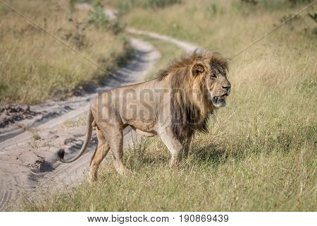A Male Lion Walking In The Grass.