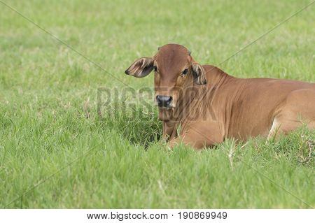 Brahman cattle in a green field.American Brahman Cow Cattle Grazing on Grass on the Farm Closeup