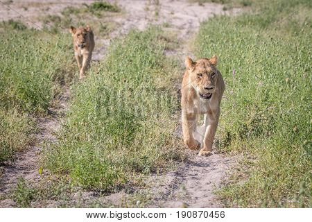 Two Lions Walking Towards The Camera.