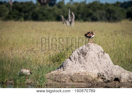 An Egyptian Good Standing On A Termite Mound.