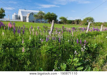 Lupins growing in a ditch along a farm field in rural America.