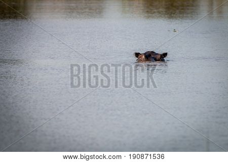 A Hippo Enjoying The Cold Water.