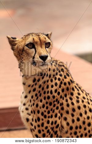 Beautiful Spotted Cheetah Acinonyx Jubatus