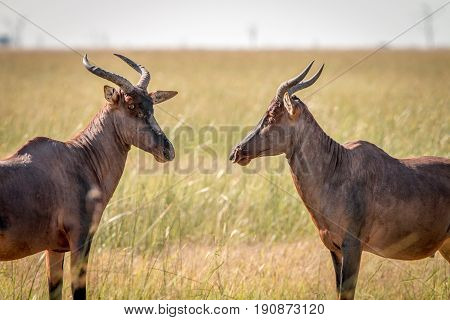 Two Red Hartebeest Looking At Each Other.