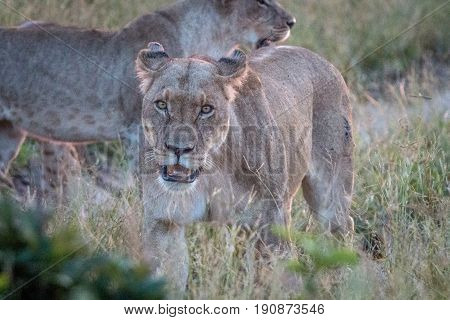 A Female Lion Looking At The Camera.
