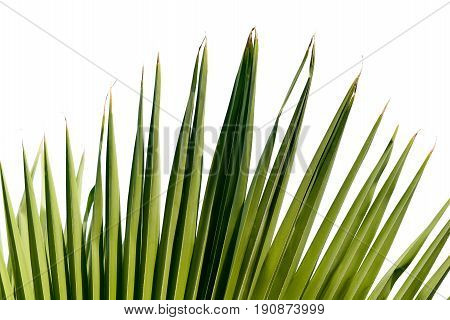 Close up palm leave on isolated white background.Green palm leave isolated white background.Tropical plants leave on white