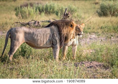 A Mating Couple Of Lions Walking In The Grass.