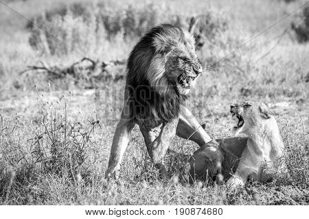 Two Lions Busy Mating In Black And White.