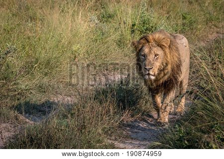 A Male Lion Walking Towards The Camera.