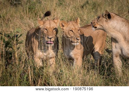Three Lions Playing In The Grass.