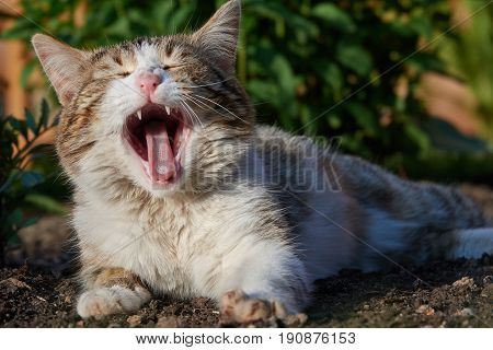 The homeless cat loudly screams. Wide open mouth. Clouseup.
