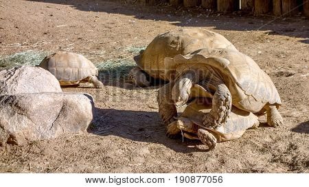 Gigantic African Spurred Tortoise mating game moment