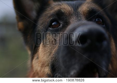 Brown Attentive Eyes Of A Dog