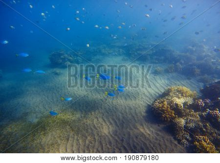Underwater landscape with coral reef and blue tropical fishes. Coral on sand bottom. Tropical sea bottom undersea photo. Sea animals and plants. Exotic seashore. Marine inhabitants. Sea water wildlife