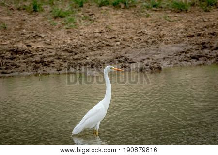 Yellow-billed Egret Standing In The Water.