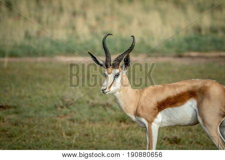Side Profile Of A Springbok In Kalagadi.